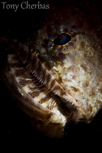 Portrait of a very large Lizard Fish: Anilao, PI by Tony Cherbas 